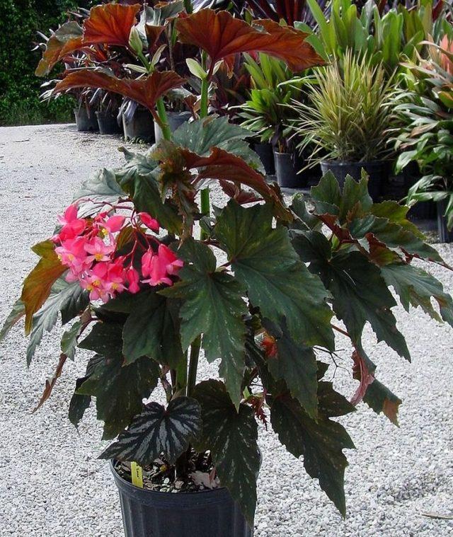 Бегония ярко-красная (Begonia coccinea)