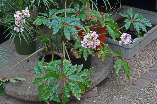 Бегония каролинифолия (Begonia carolineifolia)