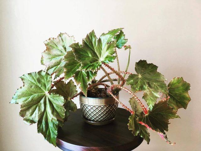 Бегония борщевиколистная (Begoniaheracleifolia)