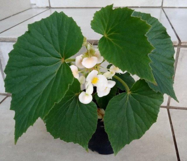 Бегония двухлепестная (Begoniadipetala)