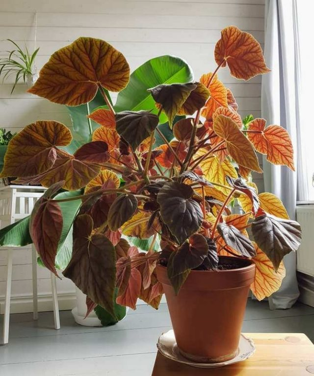 Бегония Креднера (Begonia x credneri)