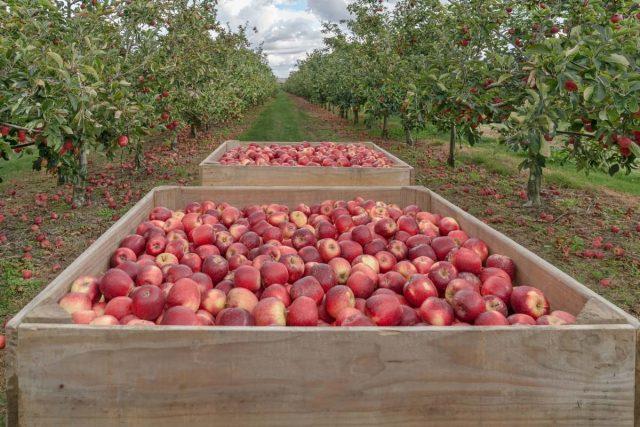 Начинать «правильное» хранение стоит уже со сбора урожая и транспортировки