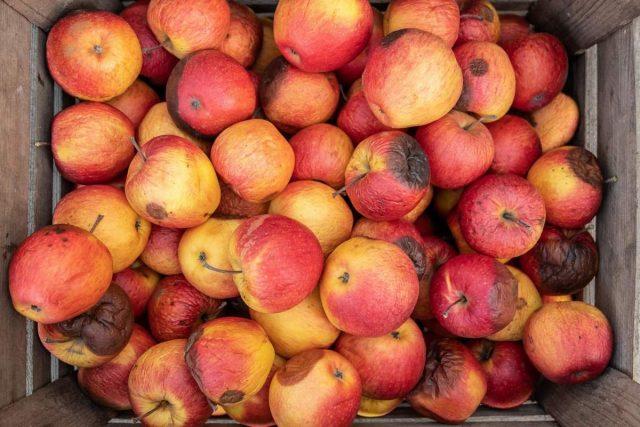 Даже небольшое гниение легко погубит всю «партию» яблок