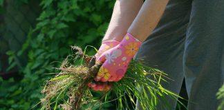 5 злостных сорняков, которые вы не сможете победить за один сезон
