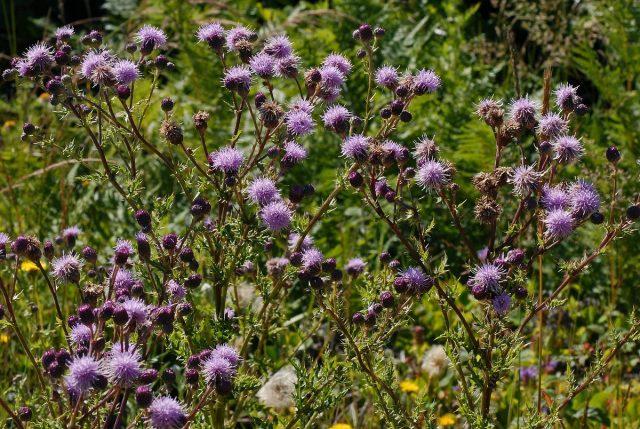 Осот розовый, или Бодяк полевой (Cirsium arvense)