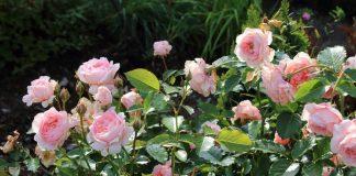 Чего хотят от нас розы осенью?