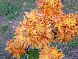 Начало октября ещё во многих местах радует заключительным цветением хризантем