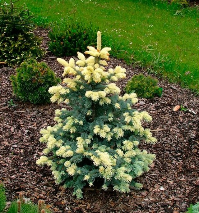 Ель колючая (Picea pungens), сорт «Биалобок» (Bialobok)