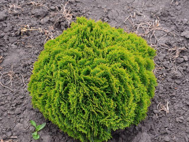 Туя западная (Thuja occidentalis), сорт «Глобоза Нана» (Globosa nana)