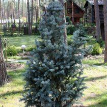 Ель колючая (Picea pungens), сорт «Айзели фастигиата» (Iseli Fastigiate)