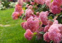 Сорта древовидной гортензии с розовыми цветками, которые не нуждаются в укрытии