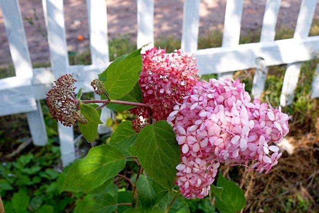 Цветки розовых гортензий меняют окраску в процессе цветения