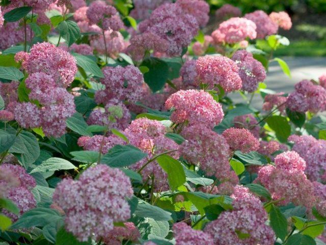 Гортензия древовидная «Пинк Пенкушен» (Pink Pincushion)