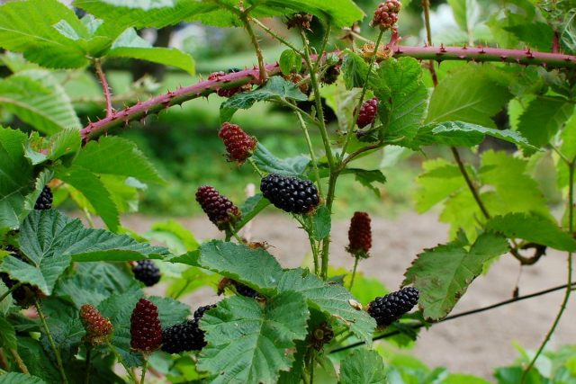 Ежемалина — лучшие сорта и особенности выращивания