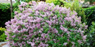 Карликовая сирень Мейера — ароматное цветение весной и осенью