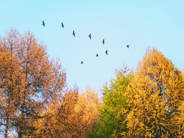 Летят перелетные птицы... Какие и куда?