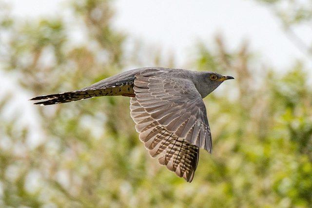 При перелете кукушки летят по одиночке