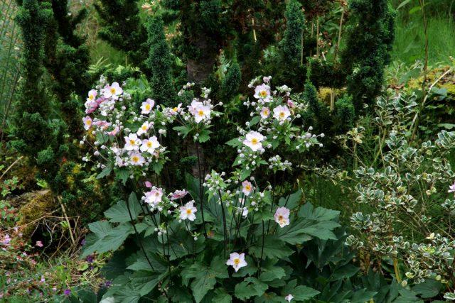 Анемоны в саду