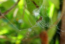 Паук-сенокосец и косиножка — могут ли навредить?