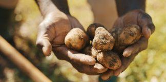 Почему картошка мелкая, или Чего не хватило картофелю?
