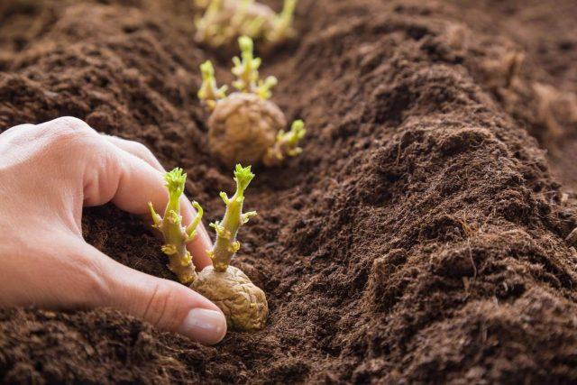 Чем лучше посадочный материал, тем меньше риск получить во время выкопки непригодные или мелкие клубни картофеля
