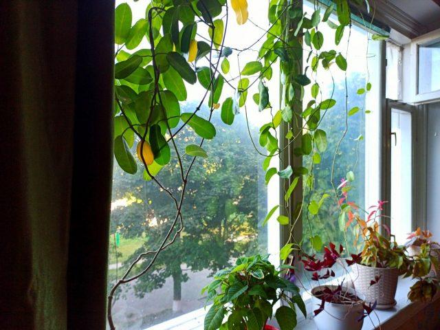 Причиной пожелтения листьев у стефанотиса могут быть перепады температуры