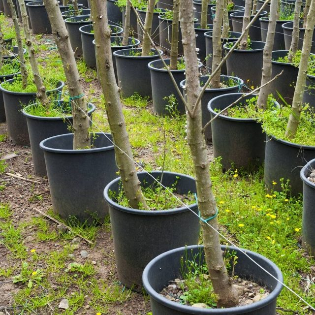 Крупные растения в контейнерах — это распространённый способ продать «некондицию»