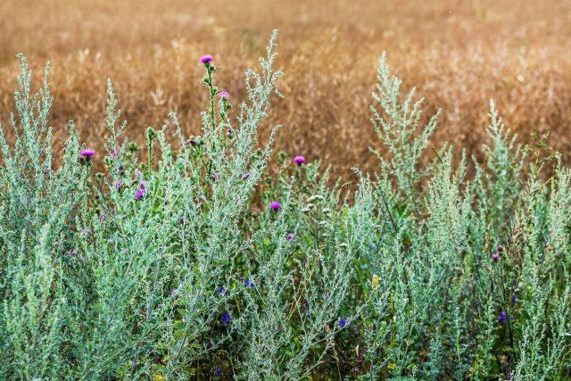 Полынь — злостный сорняк или ценнейшее растение?