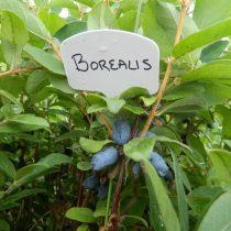 Жимолость «Борелис» (Borealis)