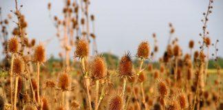 Ворсянка — декоративный сухоцвет и лекарственное растение