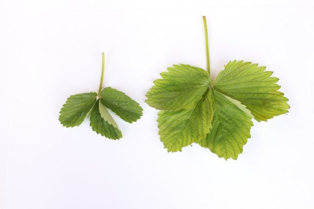 Разные по строению листья земляники садовой (принадлежат разным сортам)