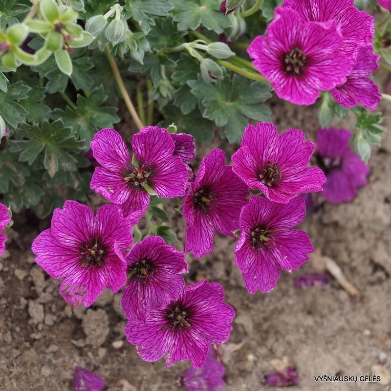 Geranium-cinereum-Purple-Pillow-1