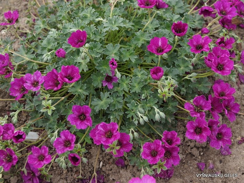 Geranium-cinereum-Purple-Pillow-2