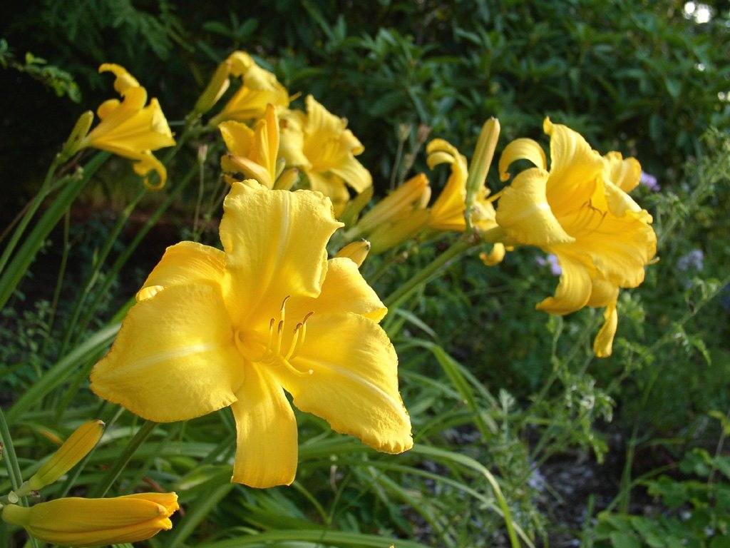 Hemerocallis-Mary-Todd-1
