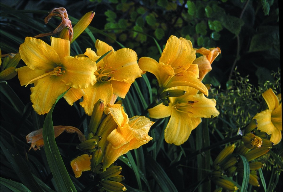 Hemerocallis-Mary-Todd-3