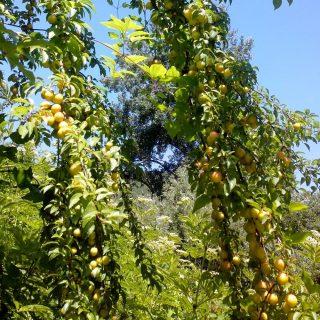 Куст алычи с некрупными жёлтыми плодами