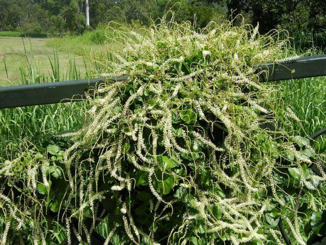 Анредера — выносливая лиана-тропиканка, которой стоит разнообразить сад