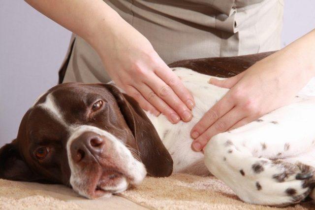 Собачий массаж полезен и вам, и вашему питомцу