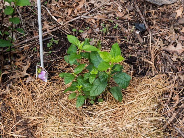 Слой мульчи поможет сохранить почву для хелоне прохладной и влажной