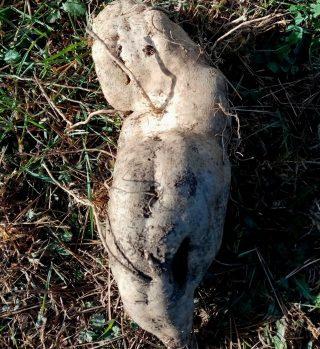 Батат «НБС», добытый из глинистой почвы