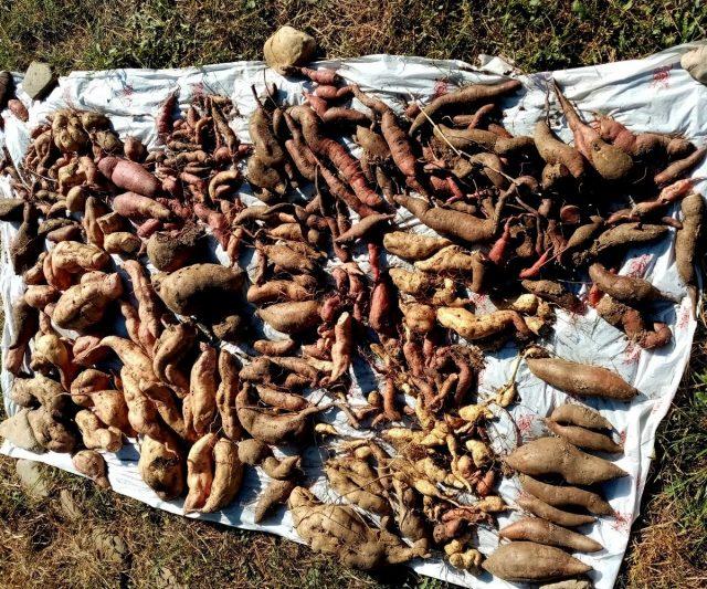 Урожай разных сортов батата (мелочь — с дополнительных корешков)