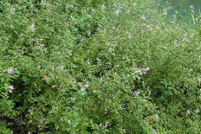 Лептодермис продолговатый, или карликовая гималайская сирень (Leptodermis oblonga)
