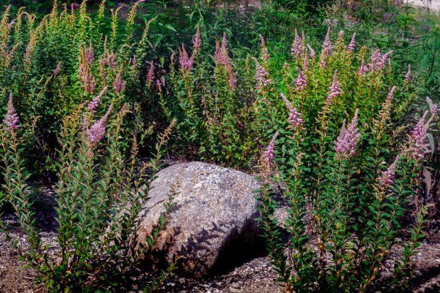 Спирея войлочная (Spiraea tomentosa)