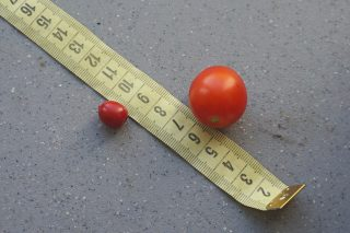 Слева — плод паслена гулявниколистного, справа — томат черри