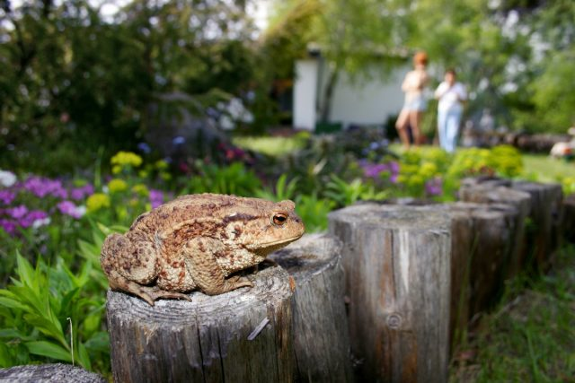 О жабах в жизни садоводов — с любовью
