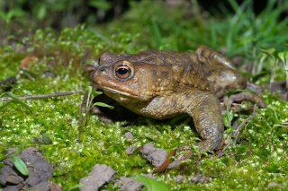 Обыкновенная, или серая жаба