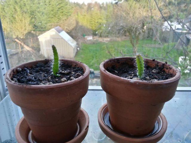 Черенки гилоцереуса, как и саженцы, полученные из семян, растут достаточно активно