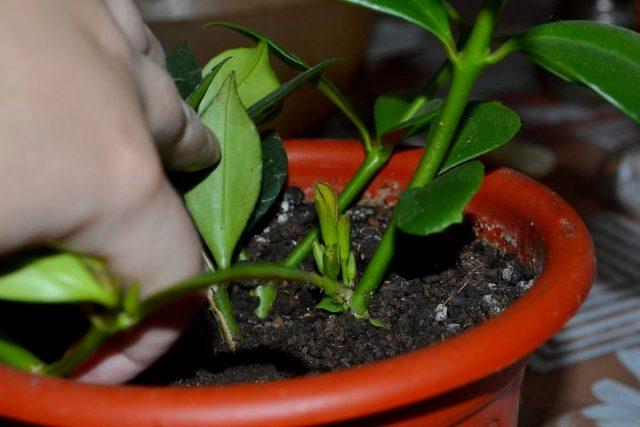 Эсхинантусы не будут нормально развиваться в неправильном субстрате