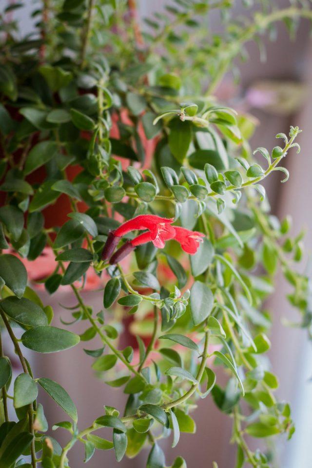 Бурный рост и красивая зелень эсхинантусов требуют немалой плодородности почвы
