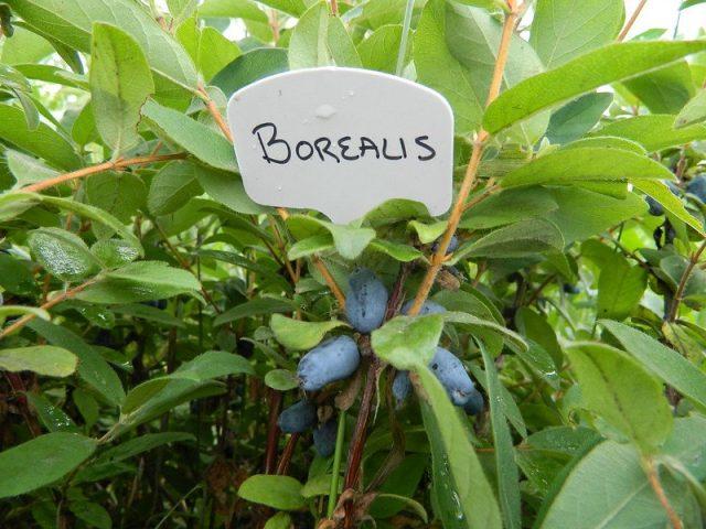 Жимолость «Бореалис», или «Северное сияние» (Borealis)